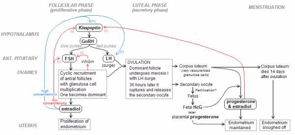 menstruatie cyclus