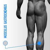 musculus gastrocnemius