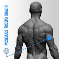 musculus triceps brachii