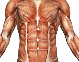 spier anatomie