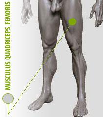 boven beenspieren